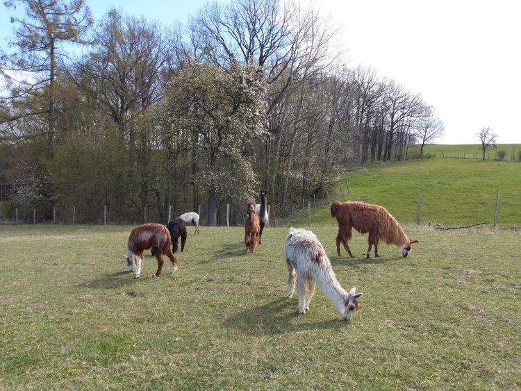Picknick mit Lamas und Alpakas