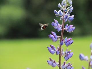 fleissige Biene auf Blumenwiese
