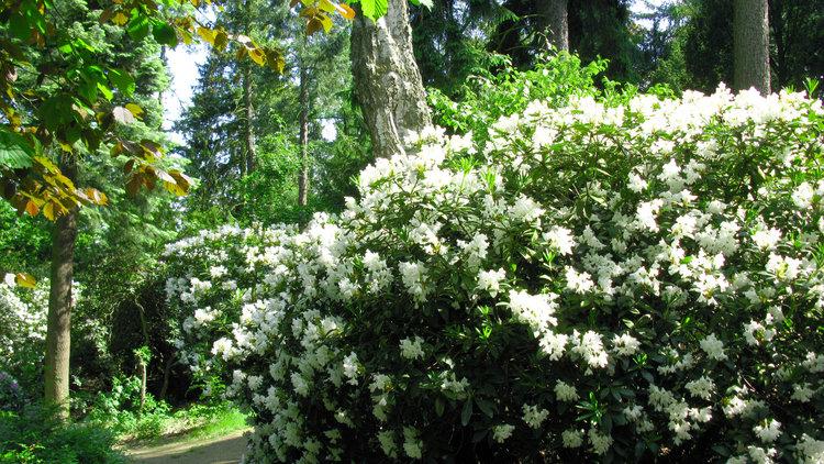 Hutberg Rhododendronbluete Stadtverwaltung Kamenz