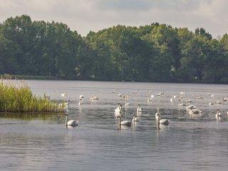 Heide und Teichlandschaft Schwäne