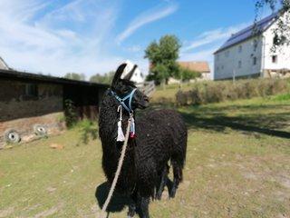 Wanderung mit Lamas und Alpakas