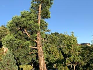Mammutgarten Mammutbaeume